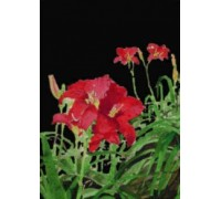 Red Day Lilies at Night - Chart or Kit
