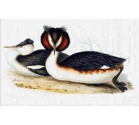 Great Crested Grebe Chart or Kit