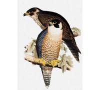Peregrine Falcons Chart or Kit