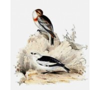 Snow Bunting Chart or Kit