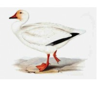 Snow Goose Chart or Kit