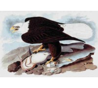 American Bald Eagle Chart or Kit