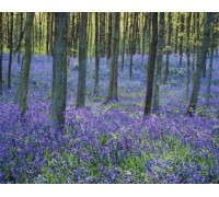 Bluebells in Forest Chart or Kit