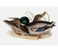 Common Wild Duck Chart or Kit