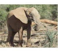 African Elephant Chart or Kit