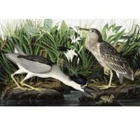 Black Crowned Night Heron by Audubon