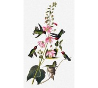 Columbian Hummingbird by John James Audubon