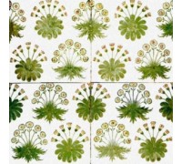 Daisy Tiles by William Morris - Chart or Kit