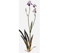 Iris by Albrecht Durer