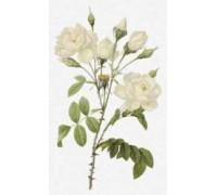 Rosa Campanulata Alba by Pierre-Joseph Redoute