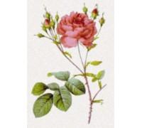 Rosa Centifolia Anglica Rubia by Pierre-Joseph Redoute