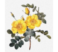 Rosa Eglanteria by Pierre-Joseph Redoute