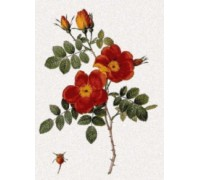 Rosa Eglanteria var Punicea by Pierre-Joseph Redoute