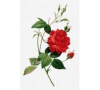 Rosa Indica Cruenta by Pierre-Joseph Redoute