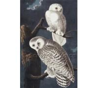 Snowy Owls - John James Audubon