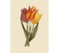 Tulipa Gesnariana by Pierre-Joseph Redoute
