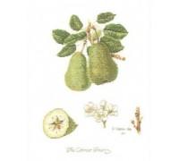 Colnar Pears Sampler