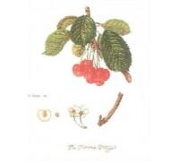 Florence Cherry Sampler