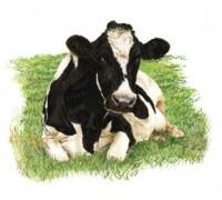 Friesian Cow 2