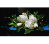 Magnolia on Blue Cloth - Chart or Kit